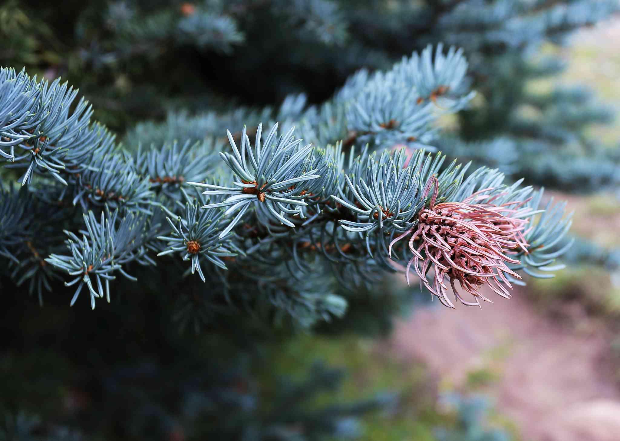 a close up of a colorado blue spruce