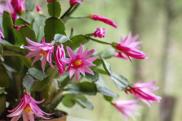 Easter cactus (Rhipsalideae gaertneri) with pink blooms.