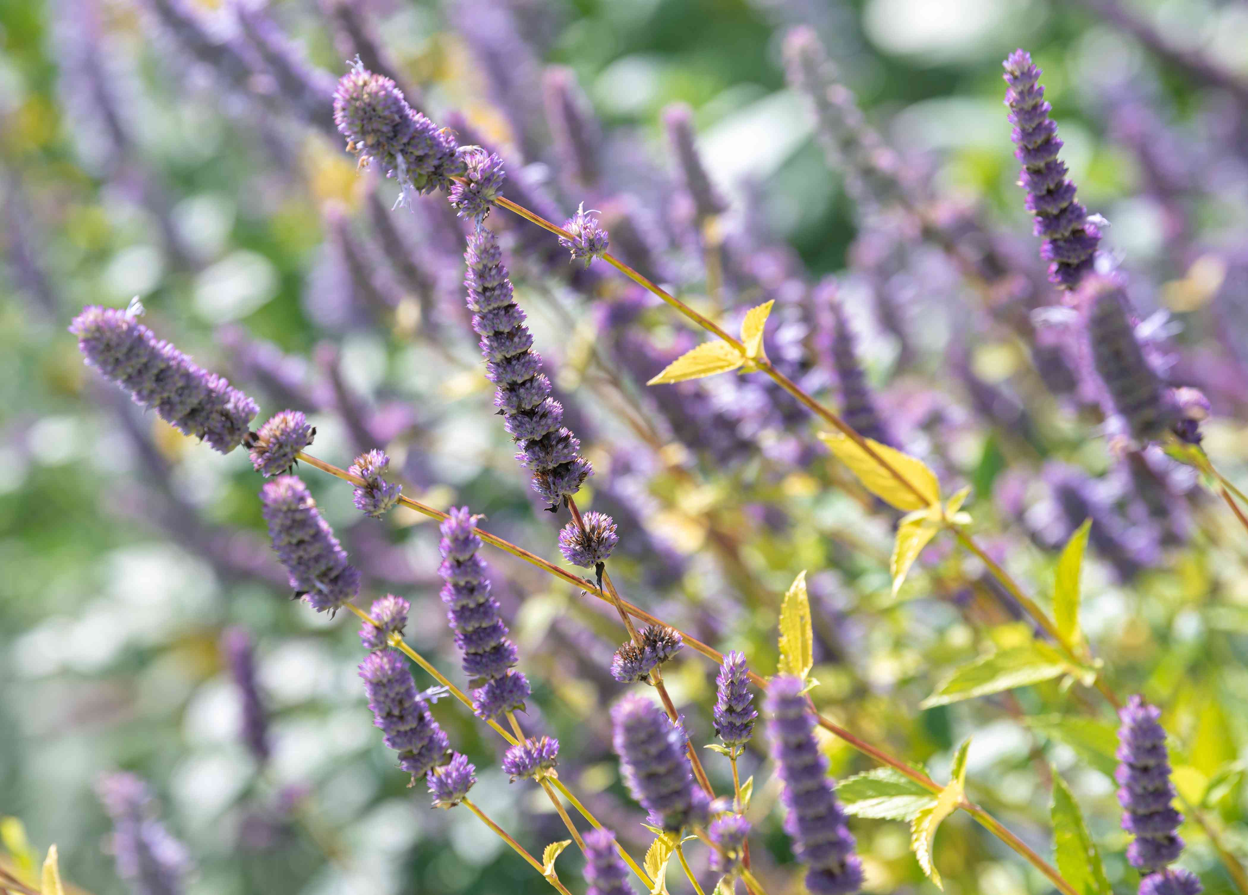 Anise hyssop plant with purple flowers clumped on thin spikes above yellow-green leaves