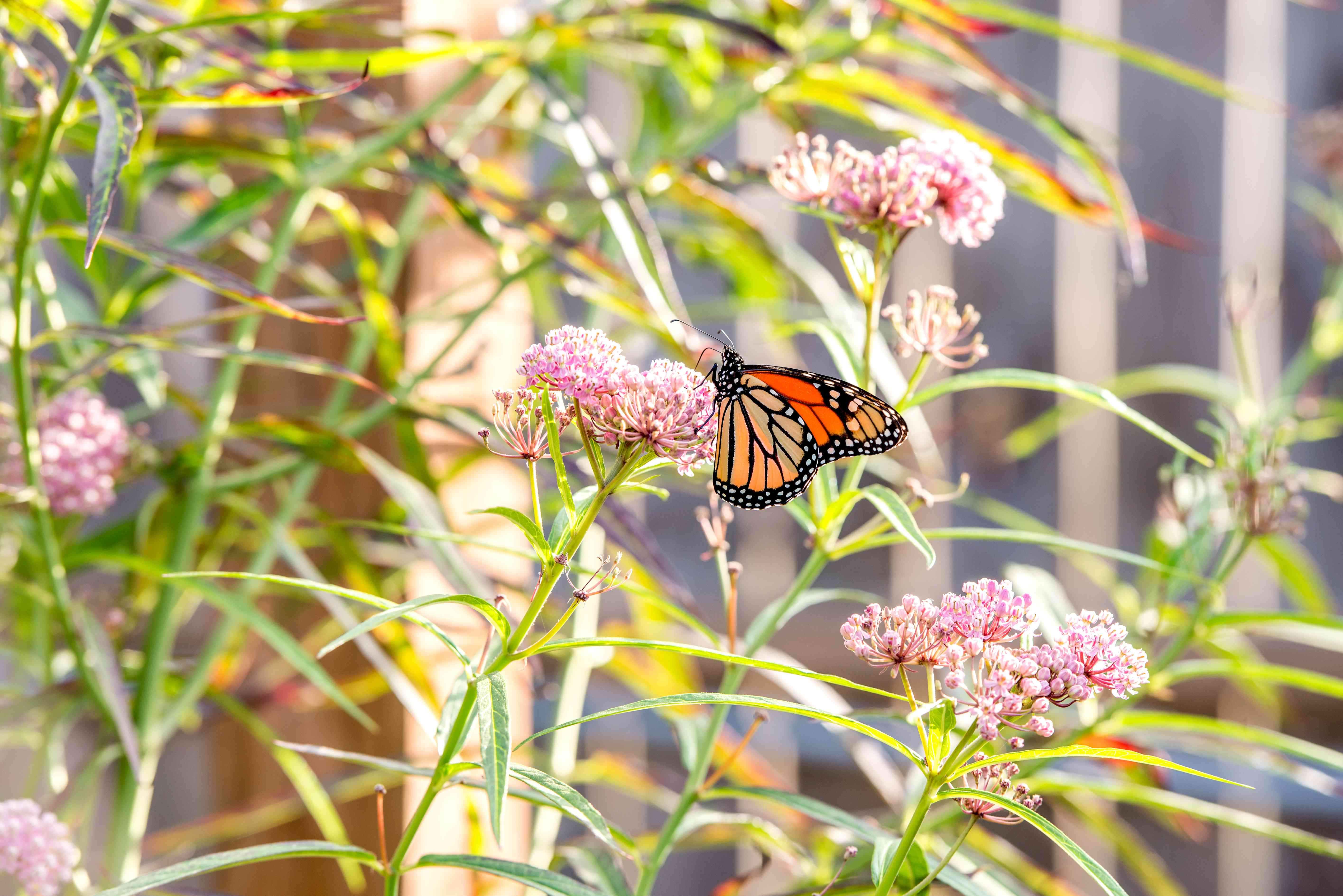 Swamp milkweed plant with small pink flowers clustered on edge of stems with orange butterfly in middle