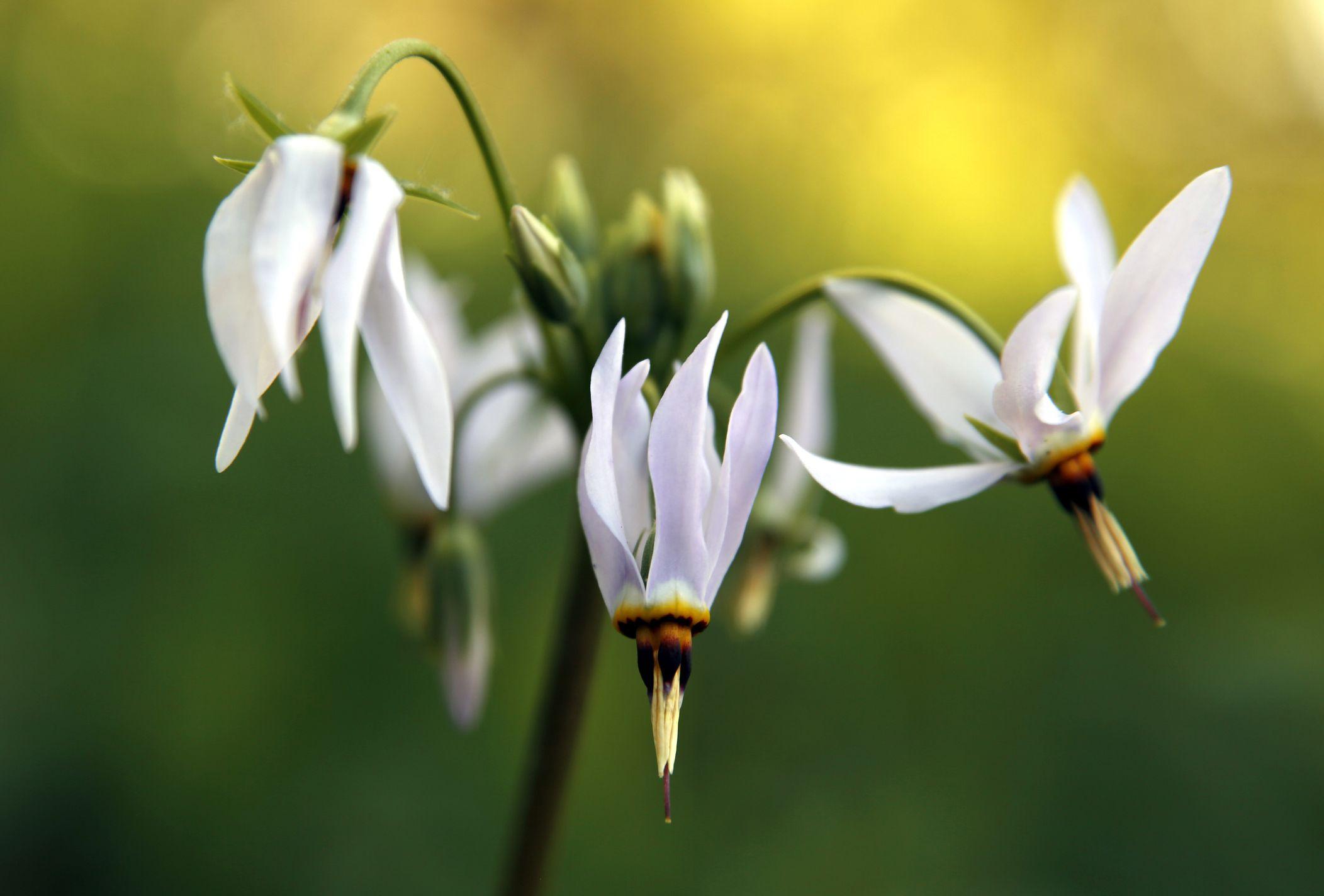 White Shooting Star Flowers