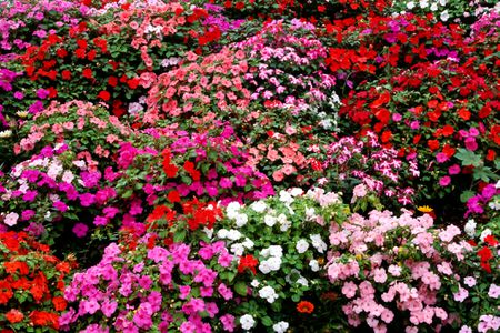 Impatiens bring bright colors to shady areas different colors of impatiens flowers mixed together mightylinksfo