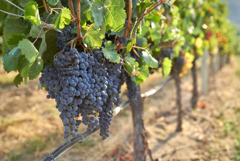 Bunches of common European grapes hanging from trellis.