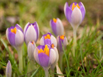 Purple crocus blooming