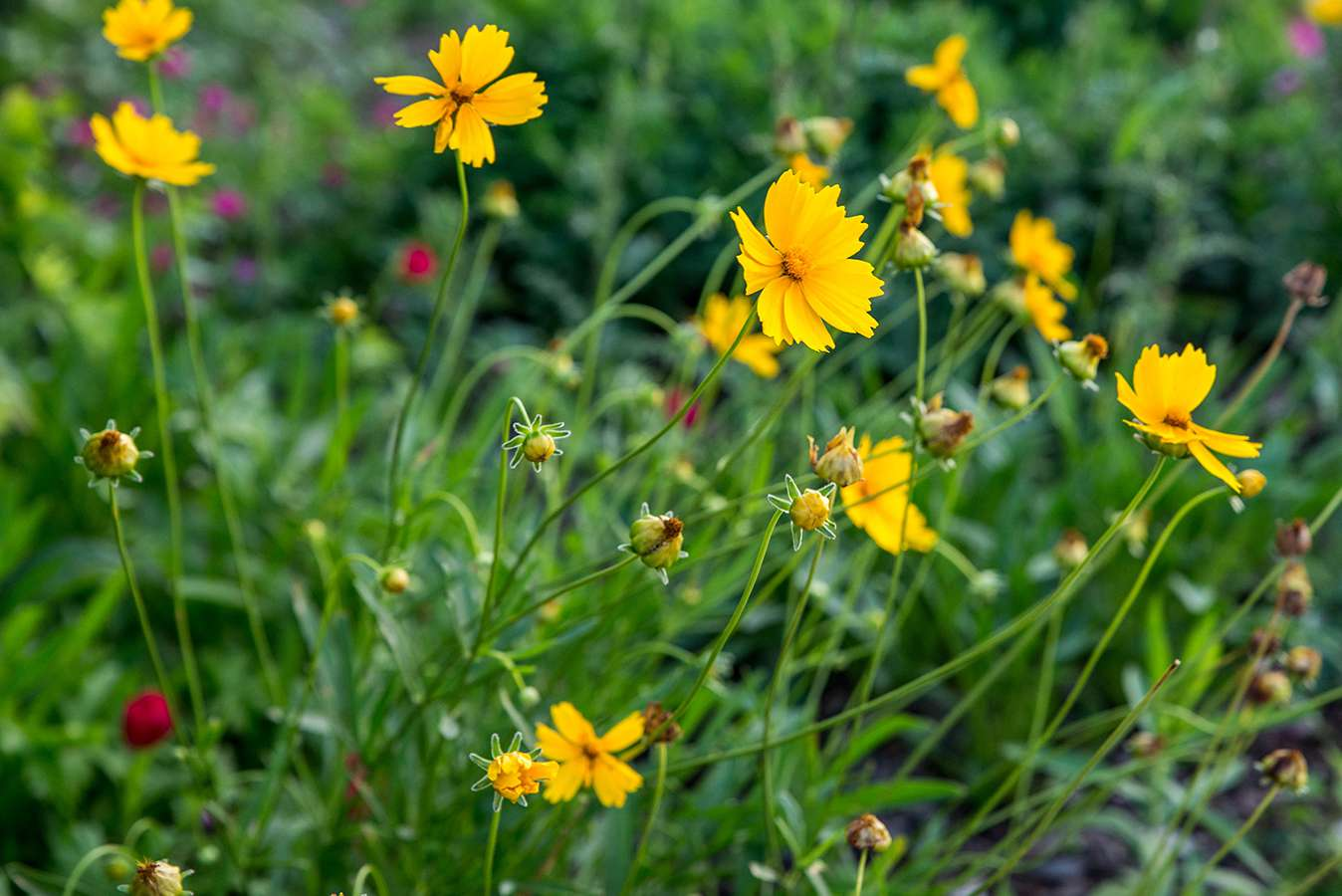 coreopsis flowers