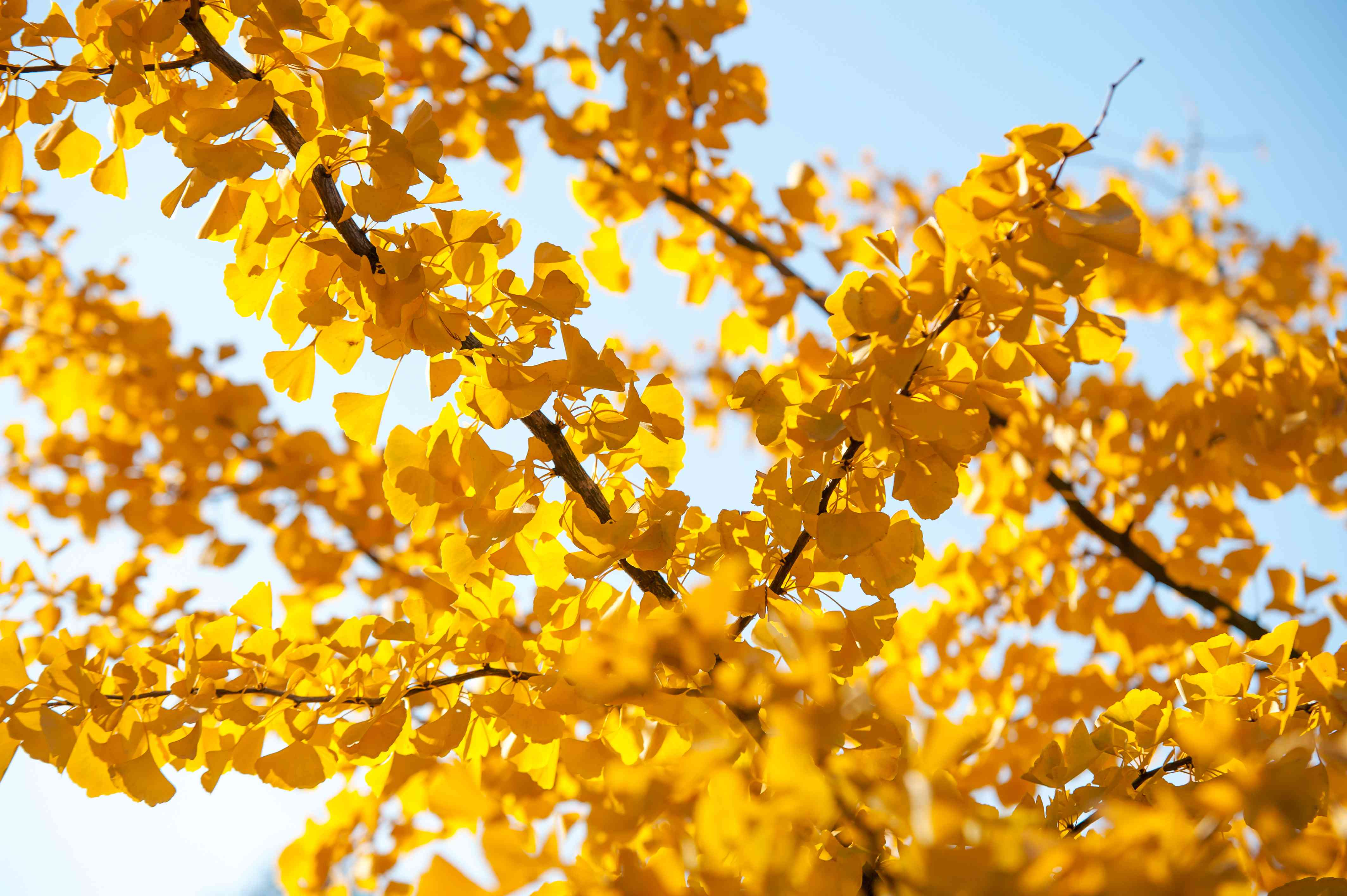 Ginkgo biloba tree branches with yellow leaves against blue sky