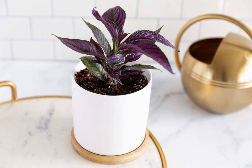 Persian shield plant on a tray