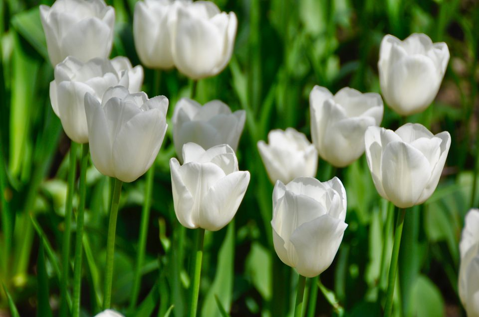 White flowers for your garden tulip white tulips mightylinksfo