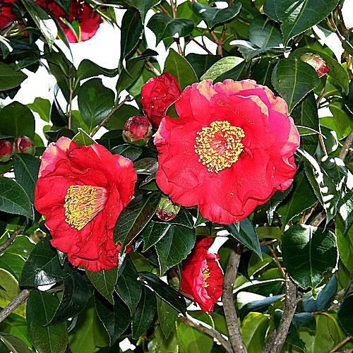 The state flower of Alabama is the camellia