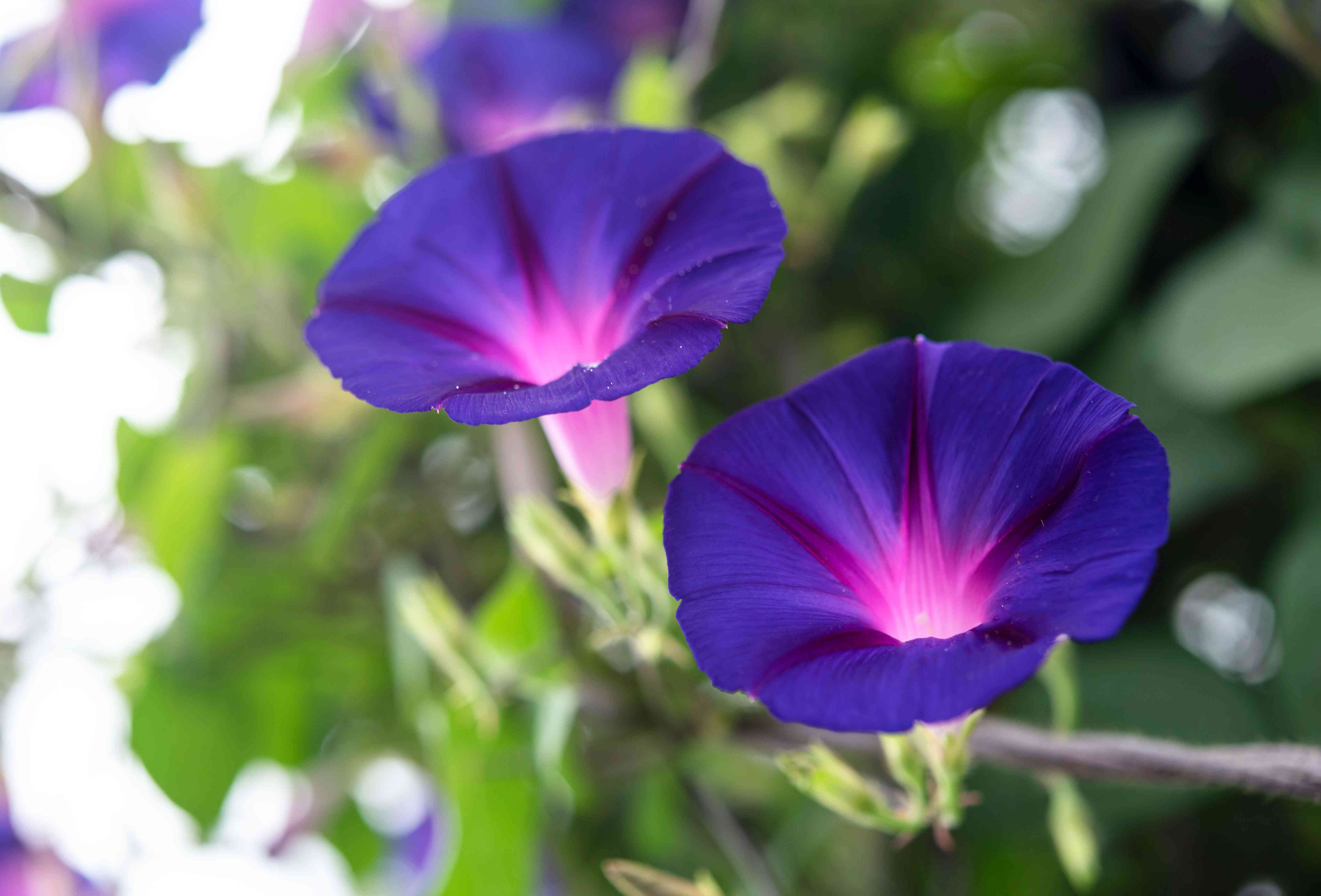 Morning glory plant with deep purple trumpet-shaped flowers with pink centers