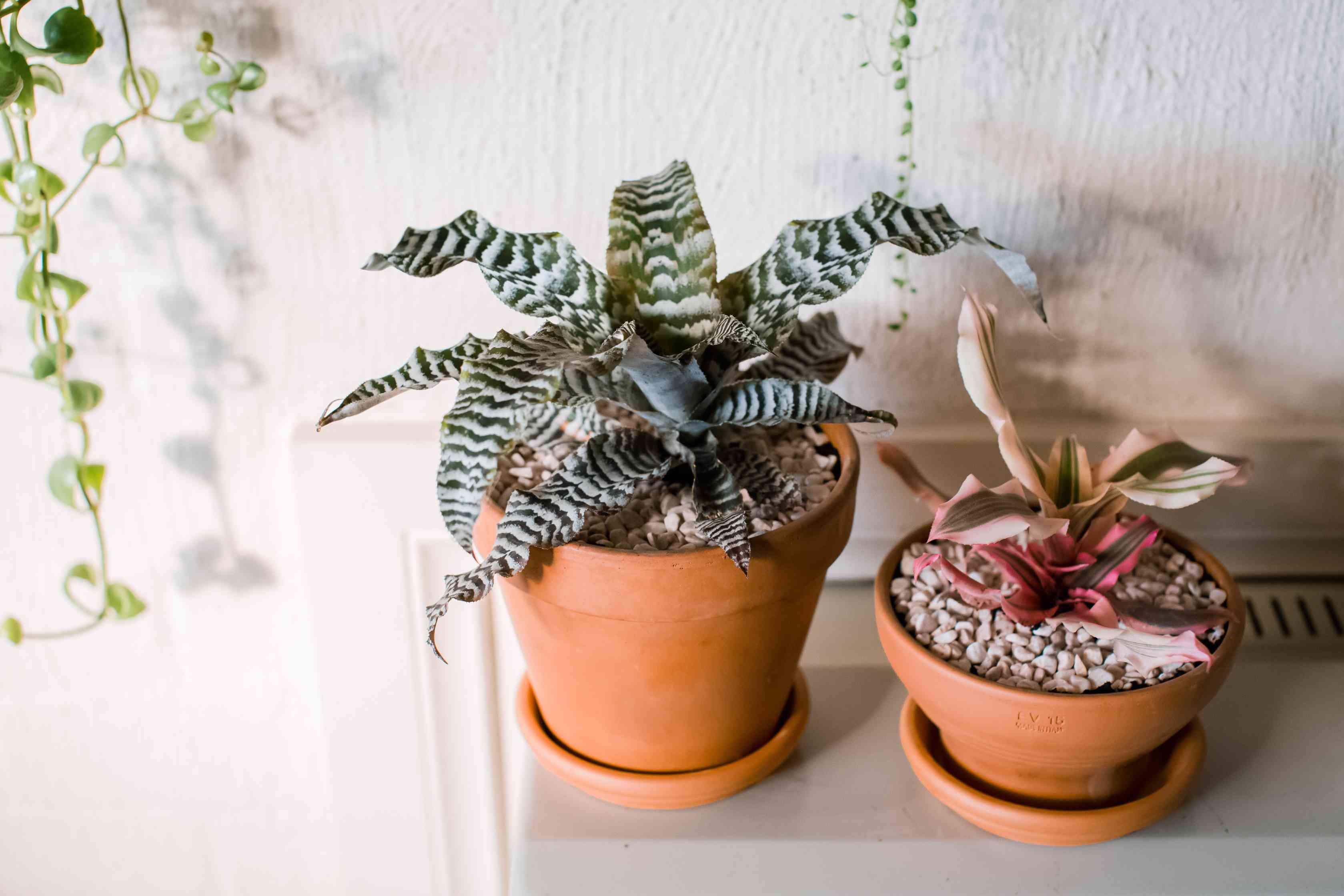 varieties of cryptanthus