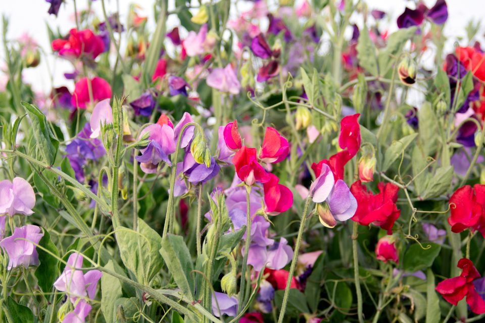 Sweat pea shrub with purple, red and pink flowers on thin stems in garden