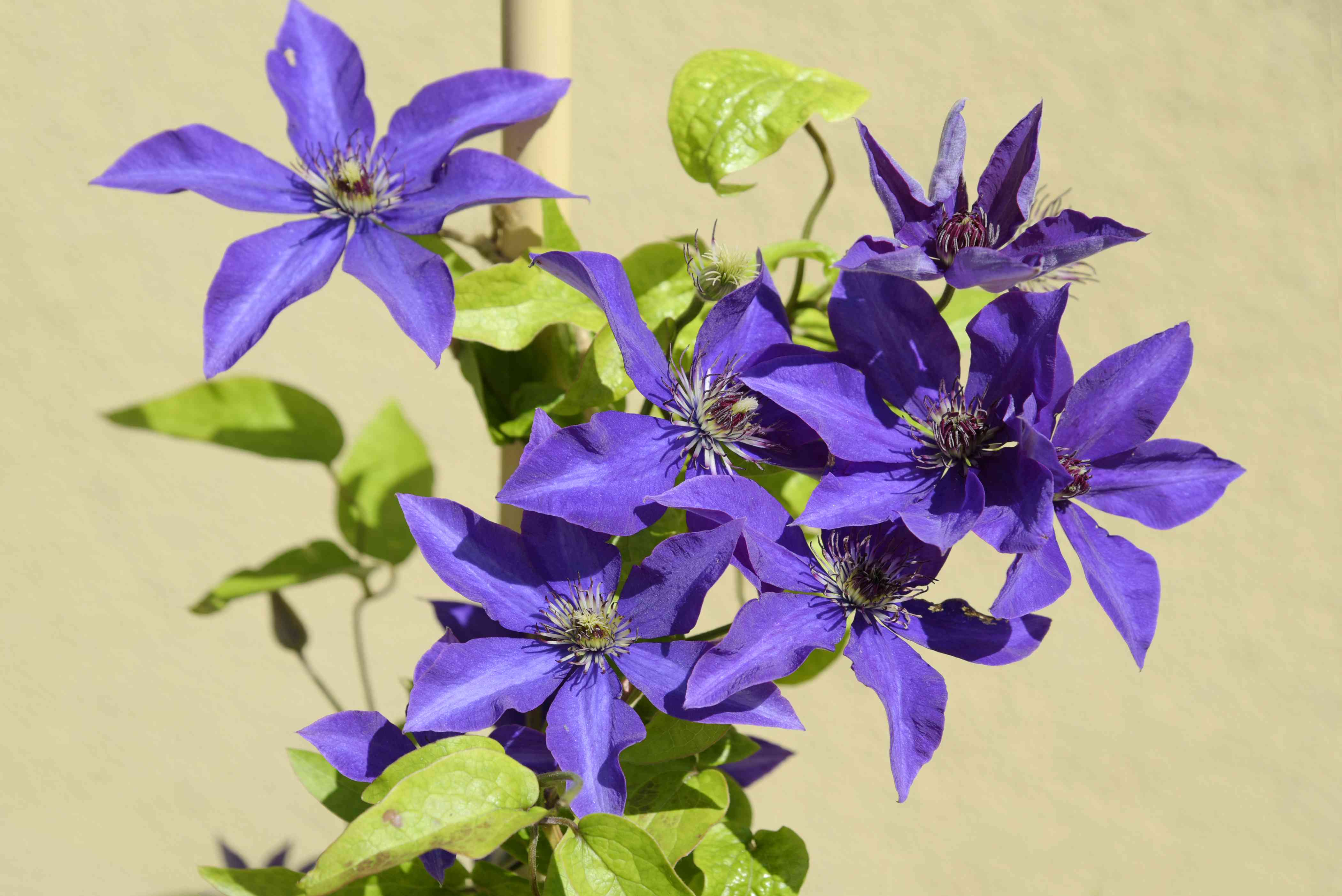 Clematis 'The President' plant with violet-blue flowers with reddish anthers in center growing on vine