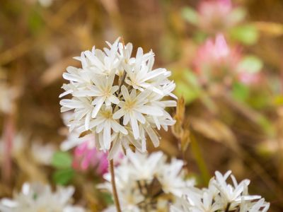Blow-wives (Achyrachaena mollis) wildflowers
