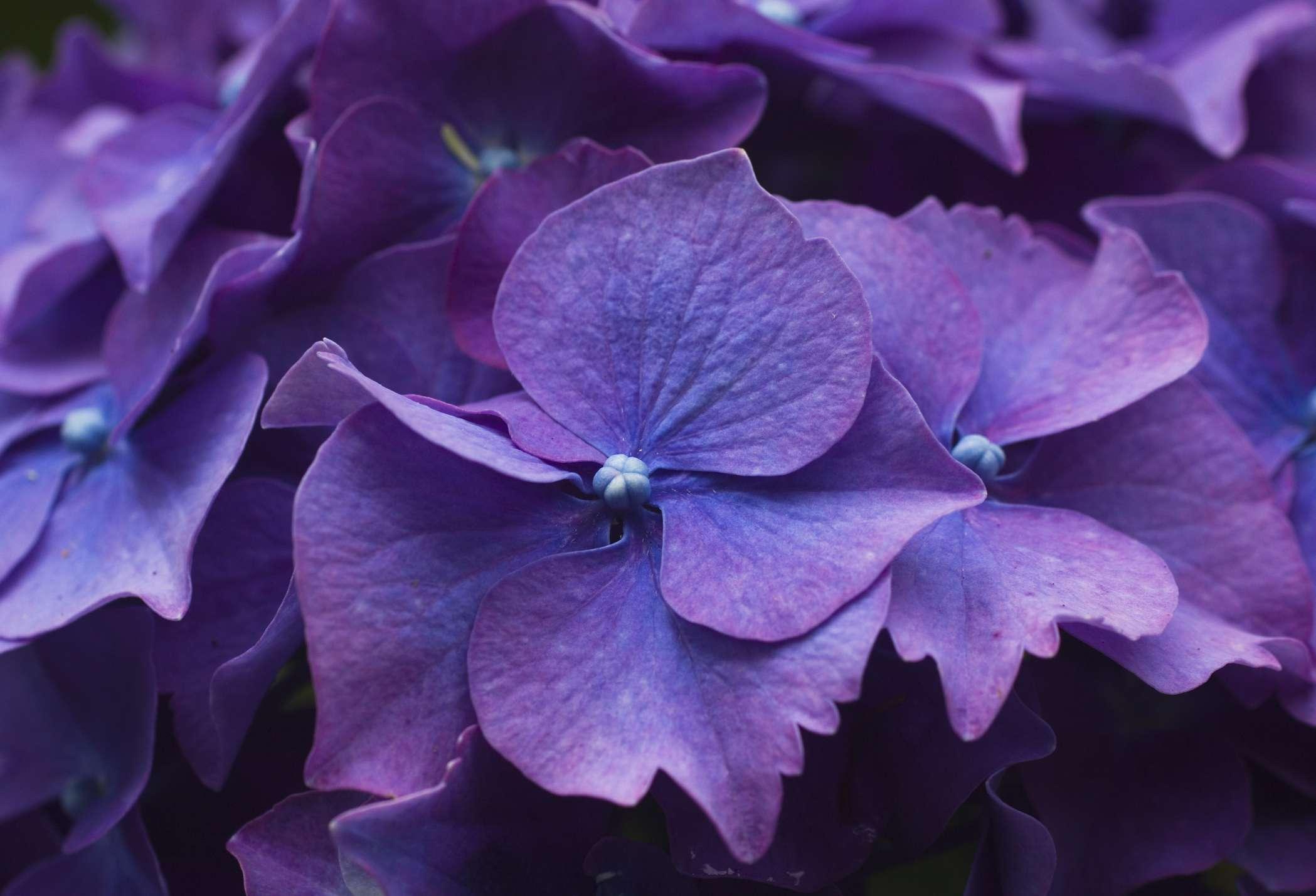 Sepals of purple hydrangea shrub flower