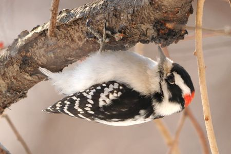 Downy Woodpecker - Most Common Backyard Birds