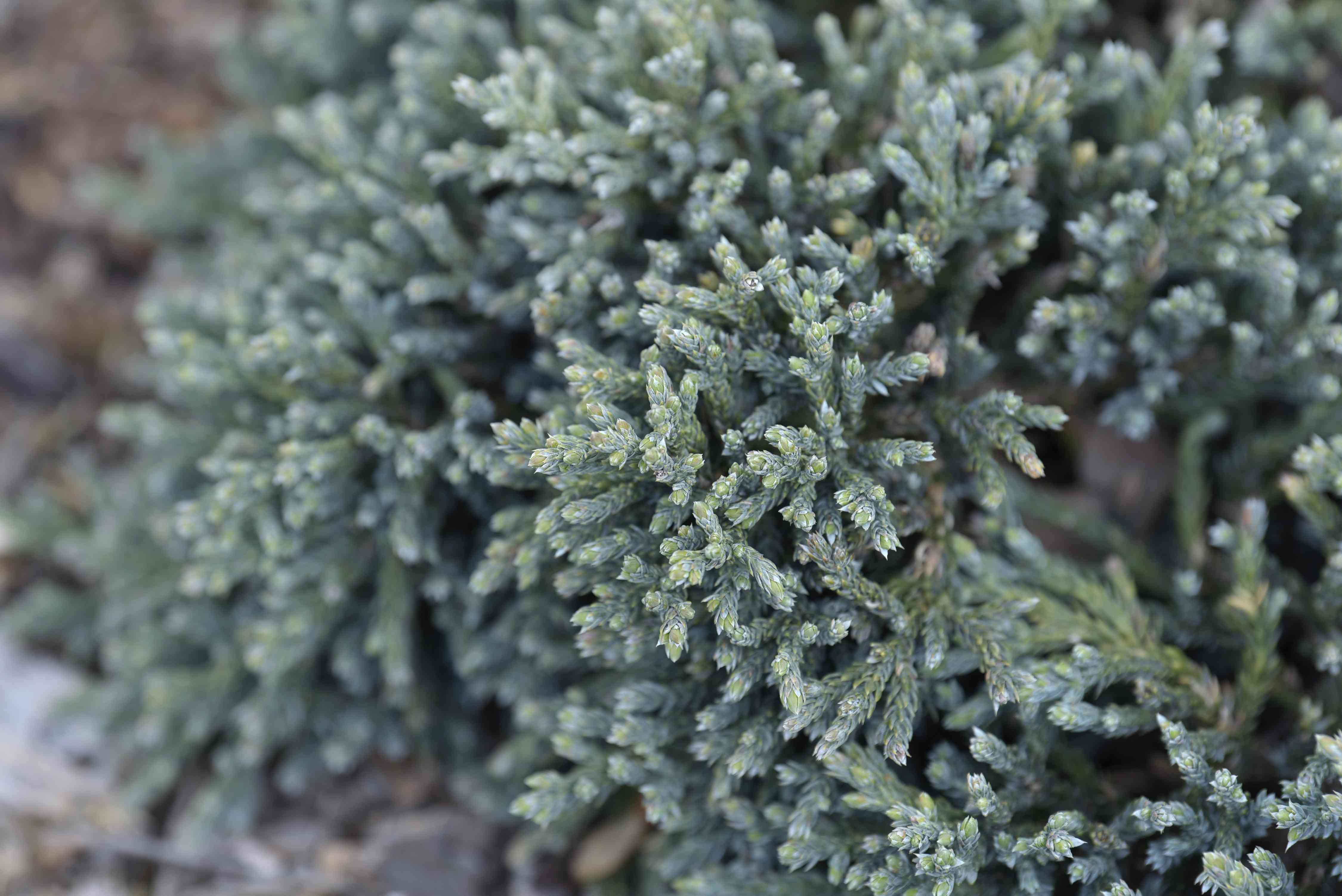 Blue star juniper evergreen shrub with silvery-blue, densely-packed needles closeup
