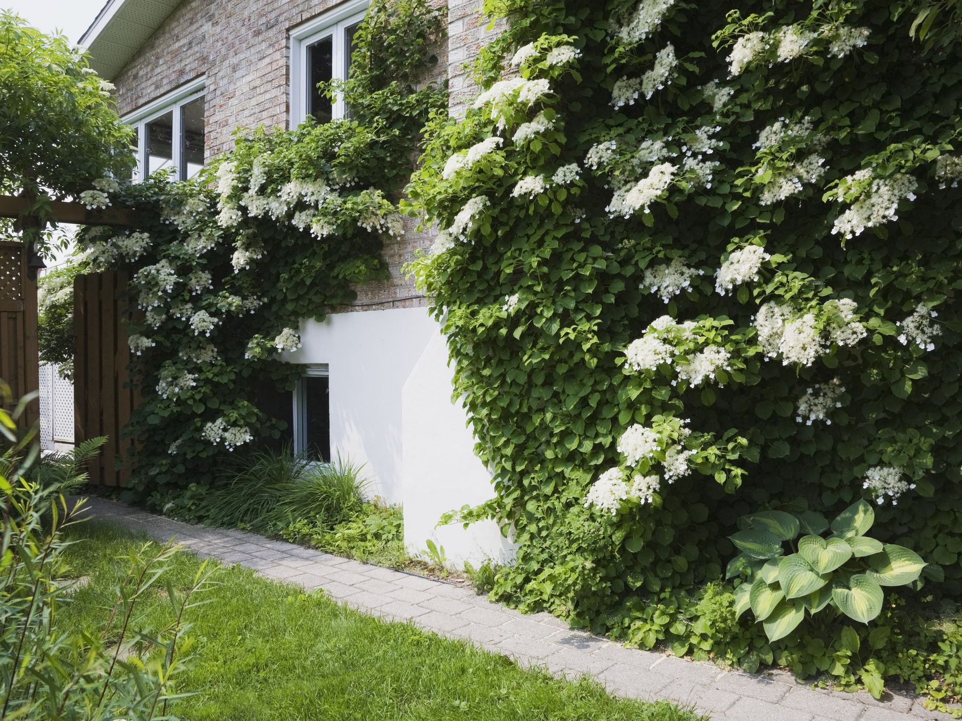 How To Grow And Care For Climbing Hydrangeas
