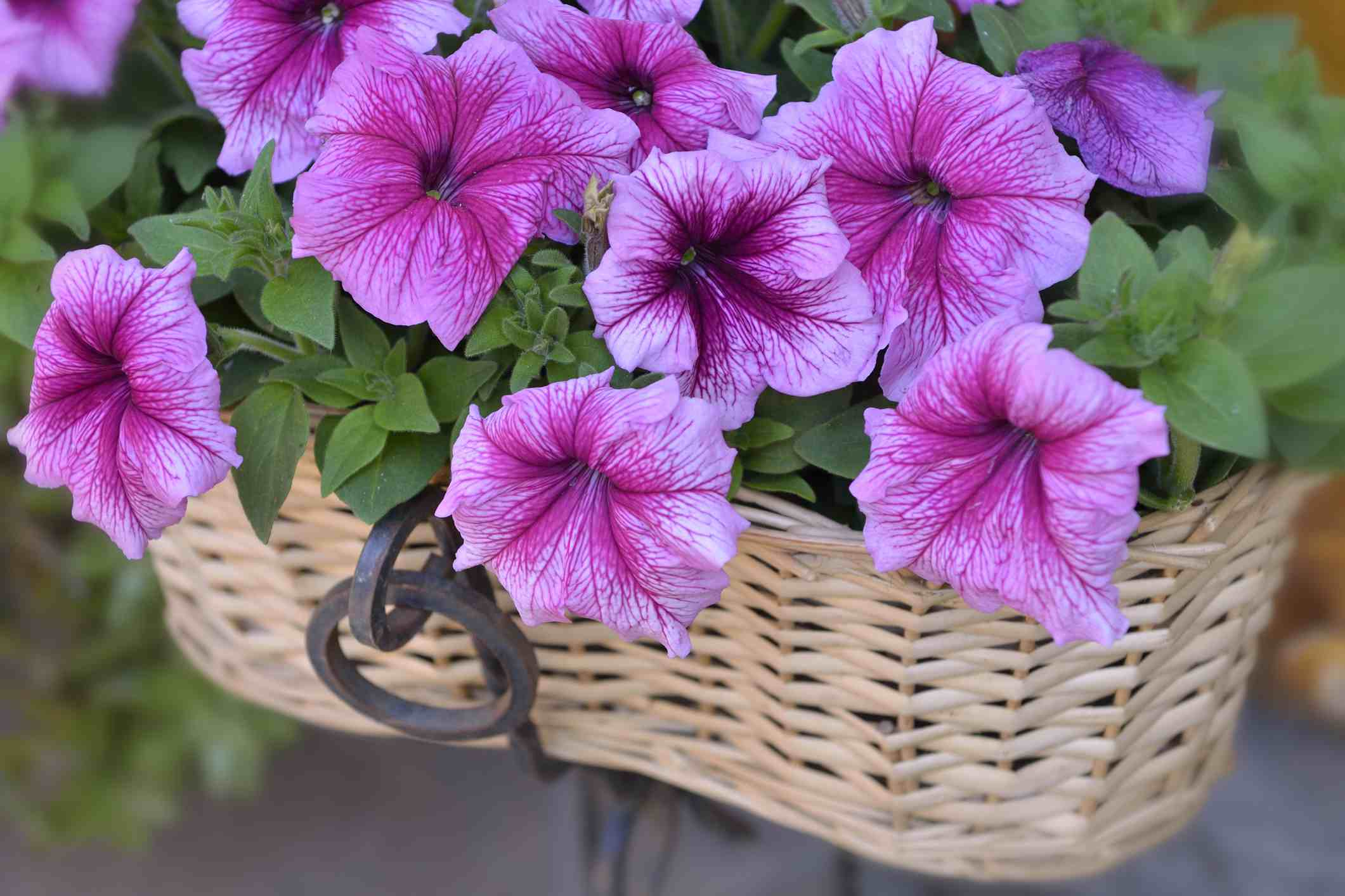 Petunia Flower Basket