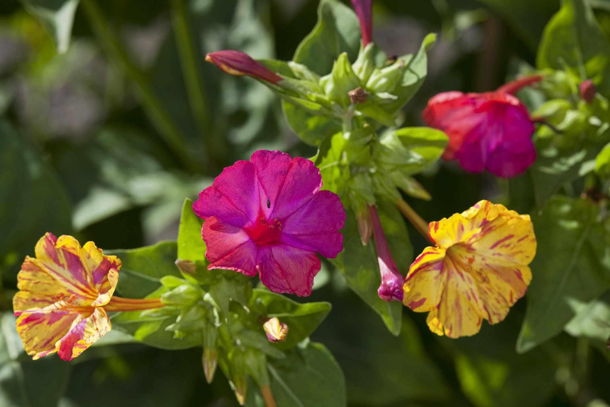 Four o'clocks (Mirabilis jalapa and M. longiflora)