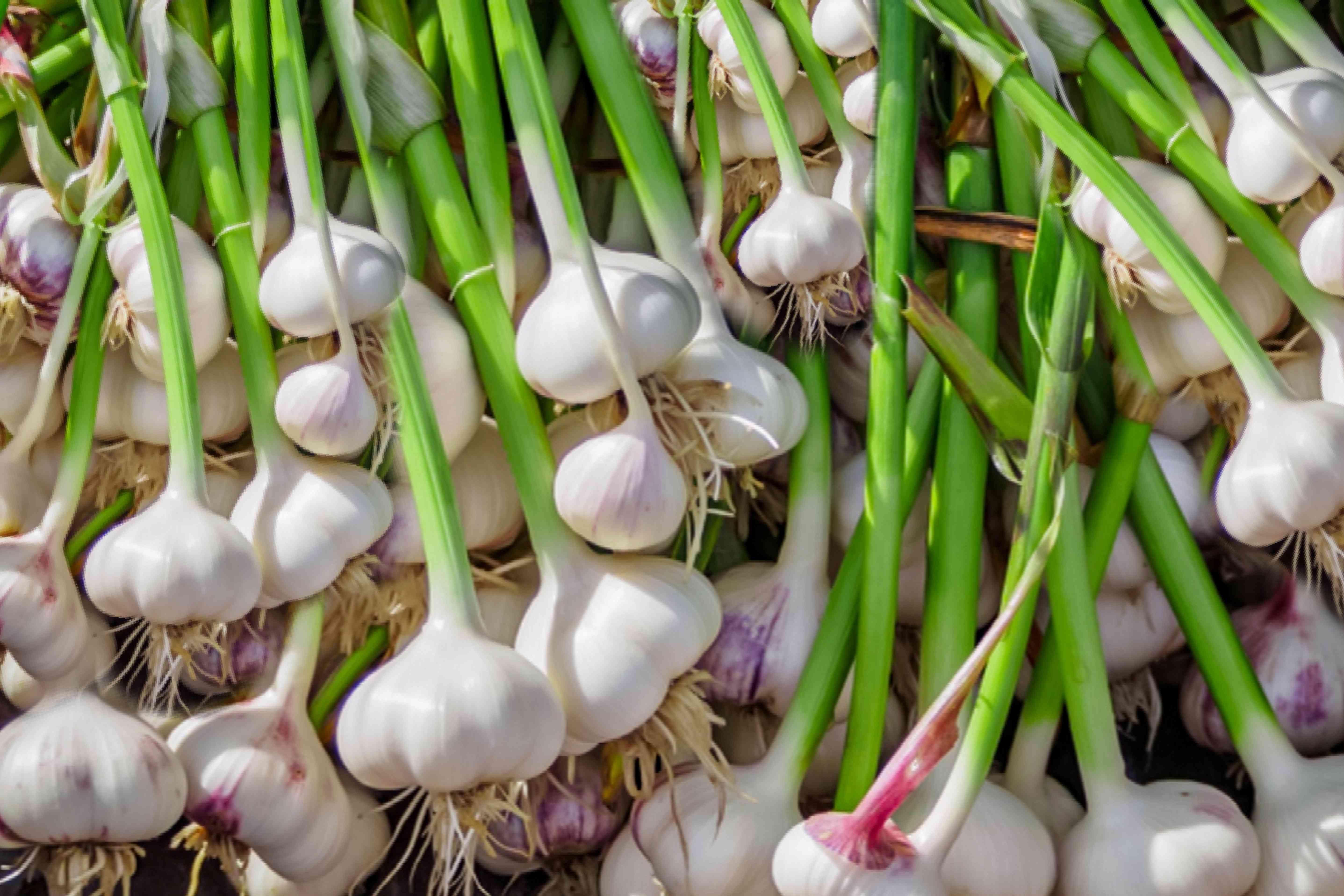 hardneck garlic harvest
