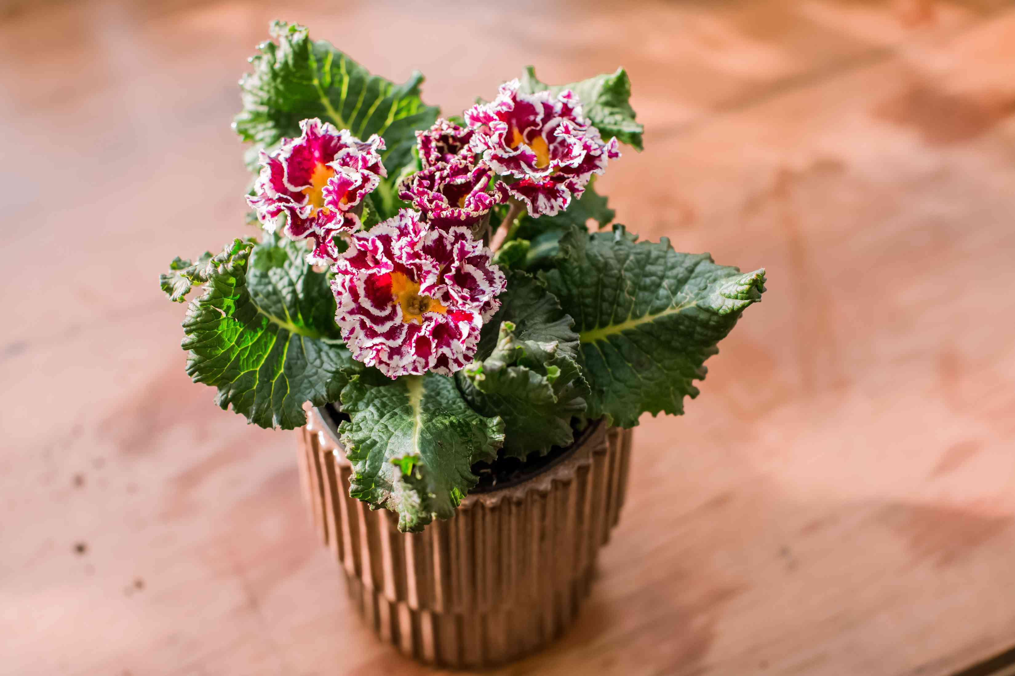 closeup of primrose plant