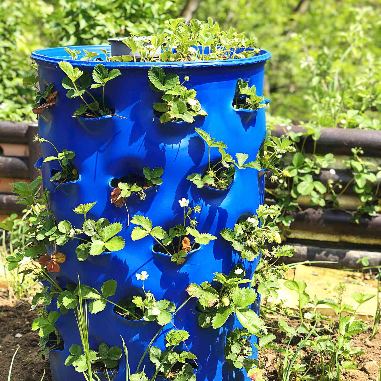 Strawberries growing in an upcycled blue barrel.