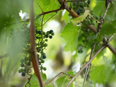 heirloom grapevines