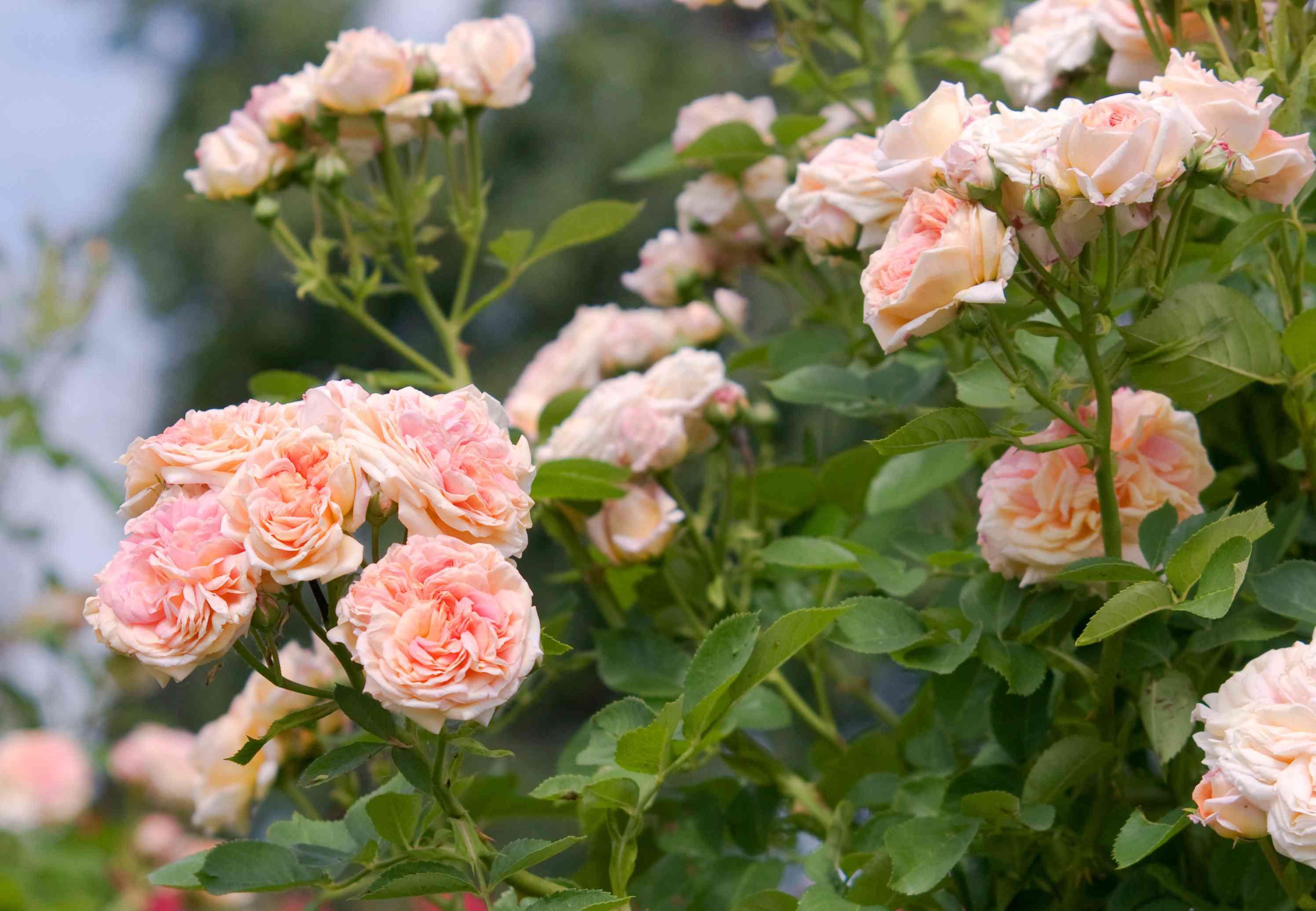 Rose alchymist bush with climbing light pink flowers closeup