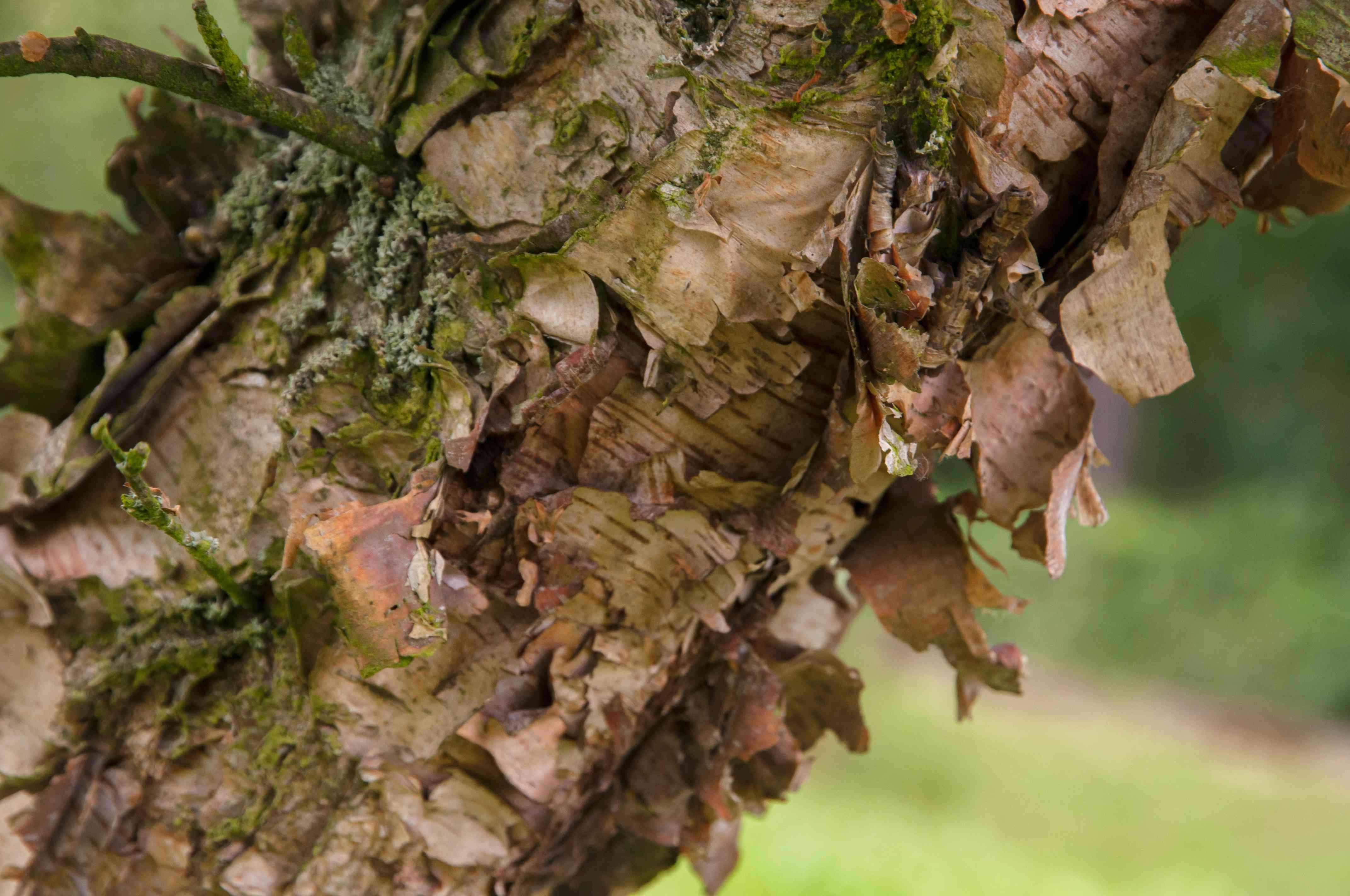 River birch tree with brown exfoliating bark closeup