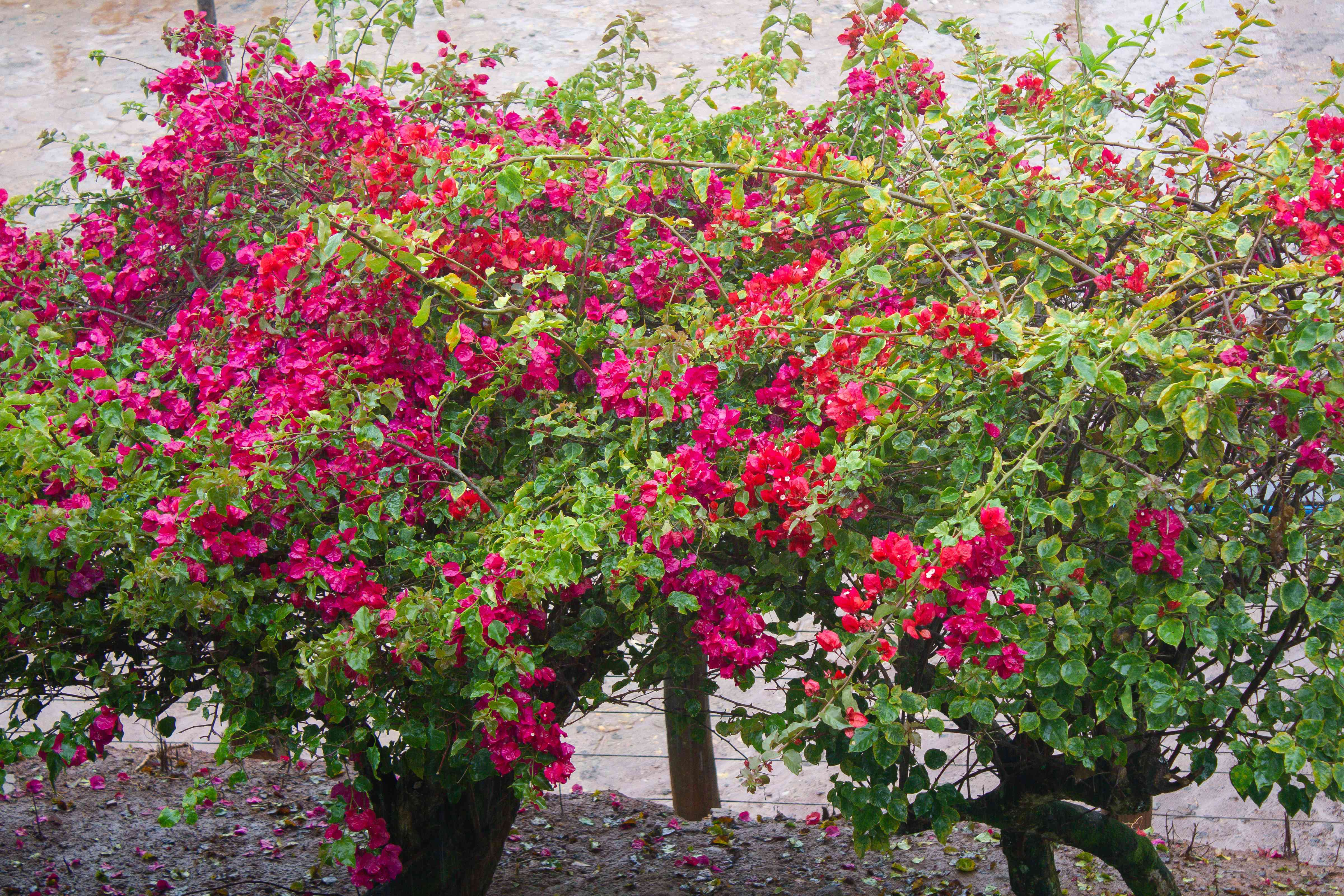 bougainvillea shrubs