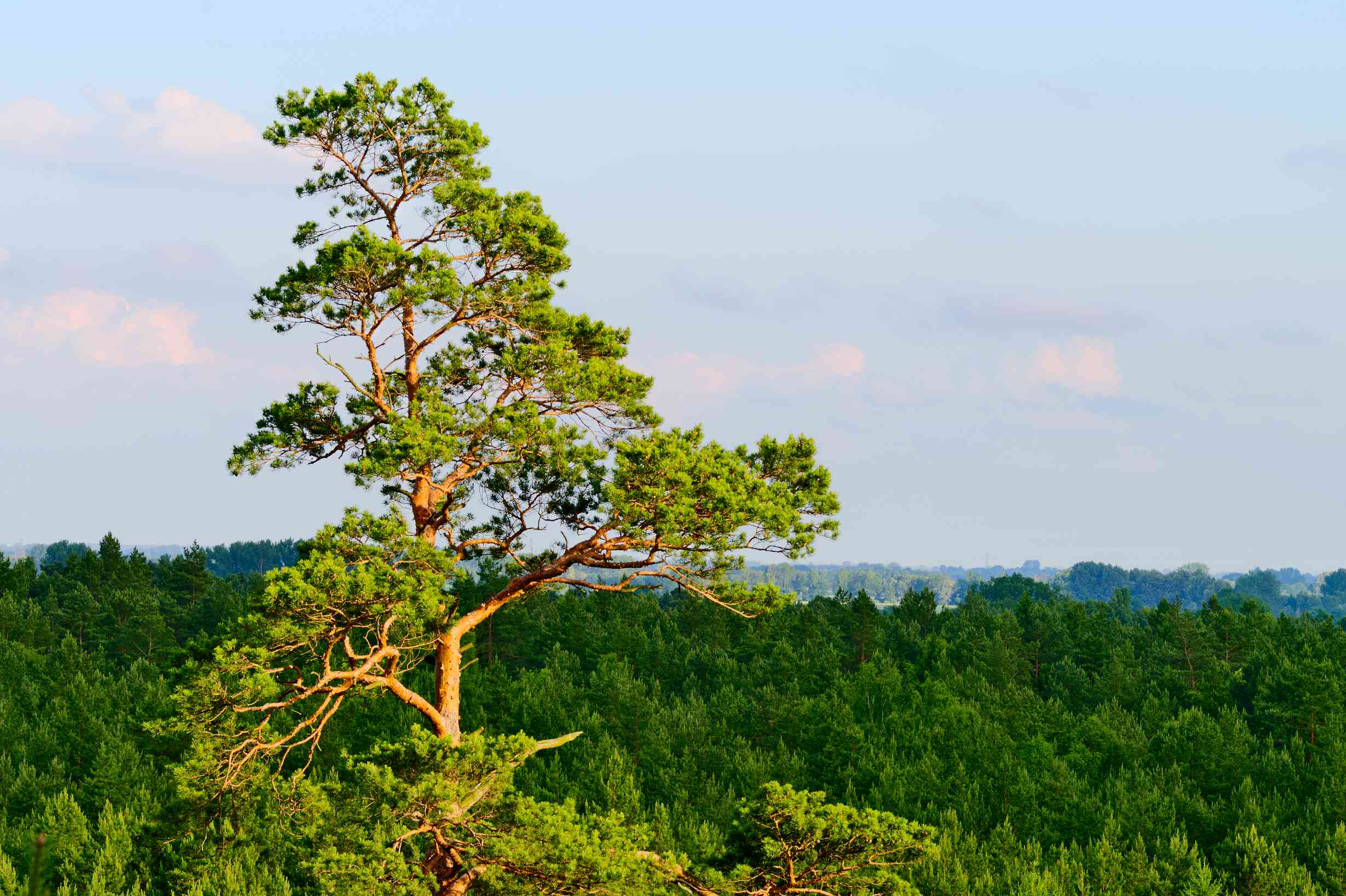Scots pine forest aerial view.