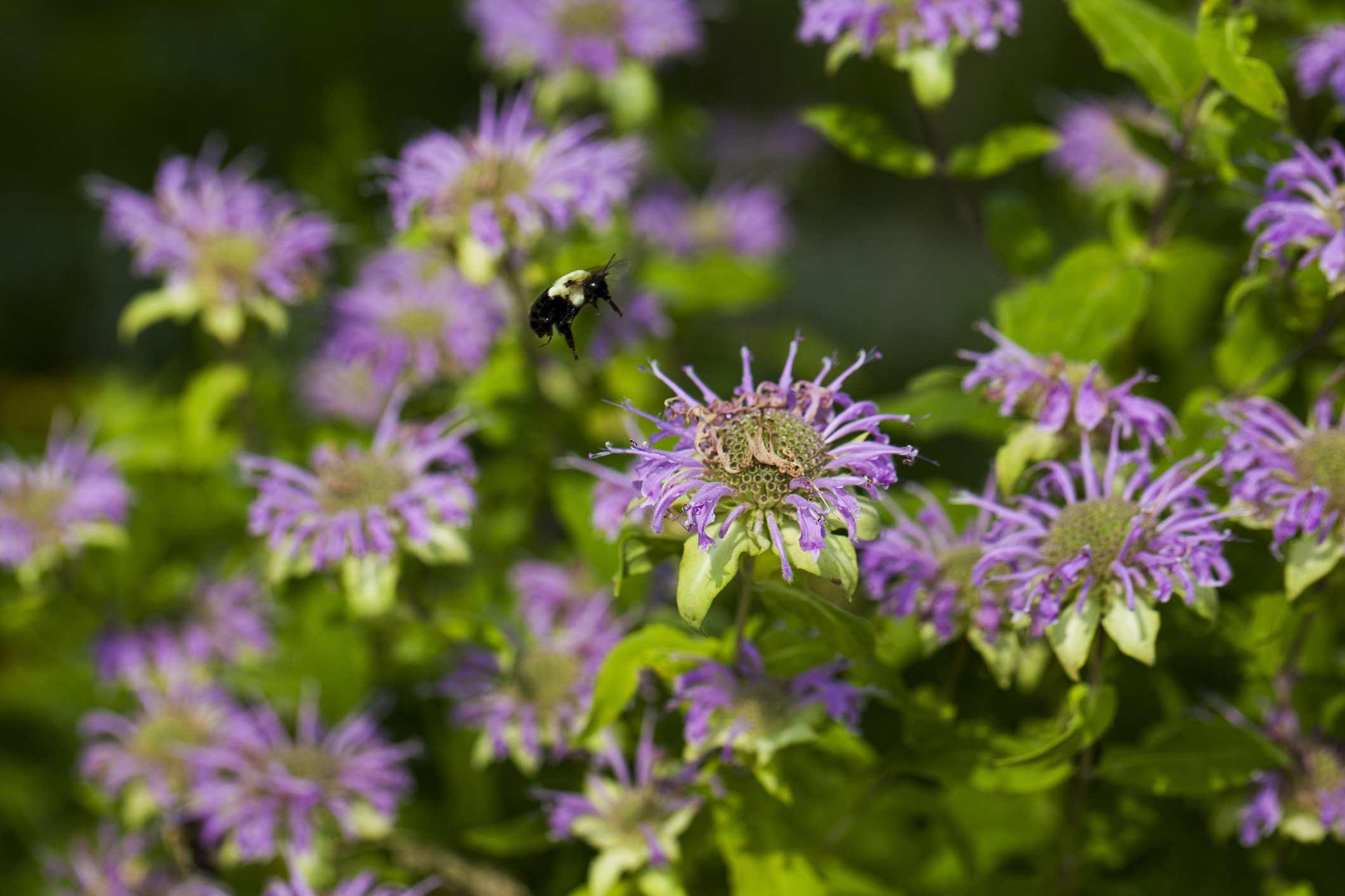 Wild bee balm (Monarda fistulosa)