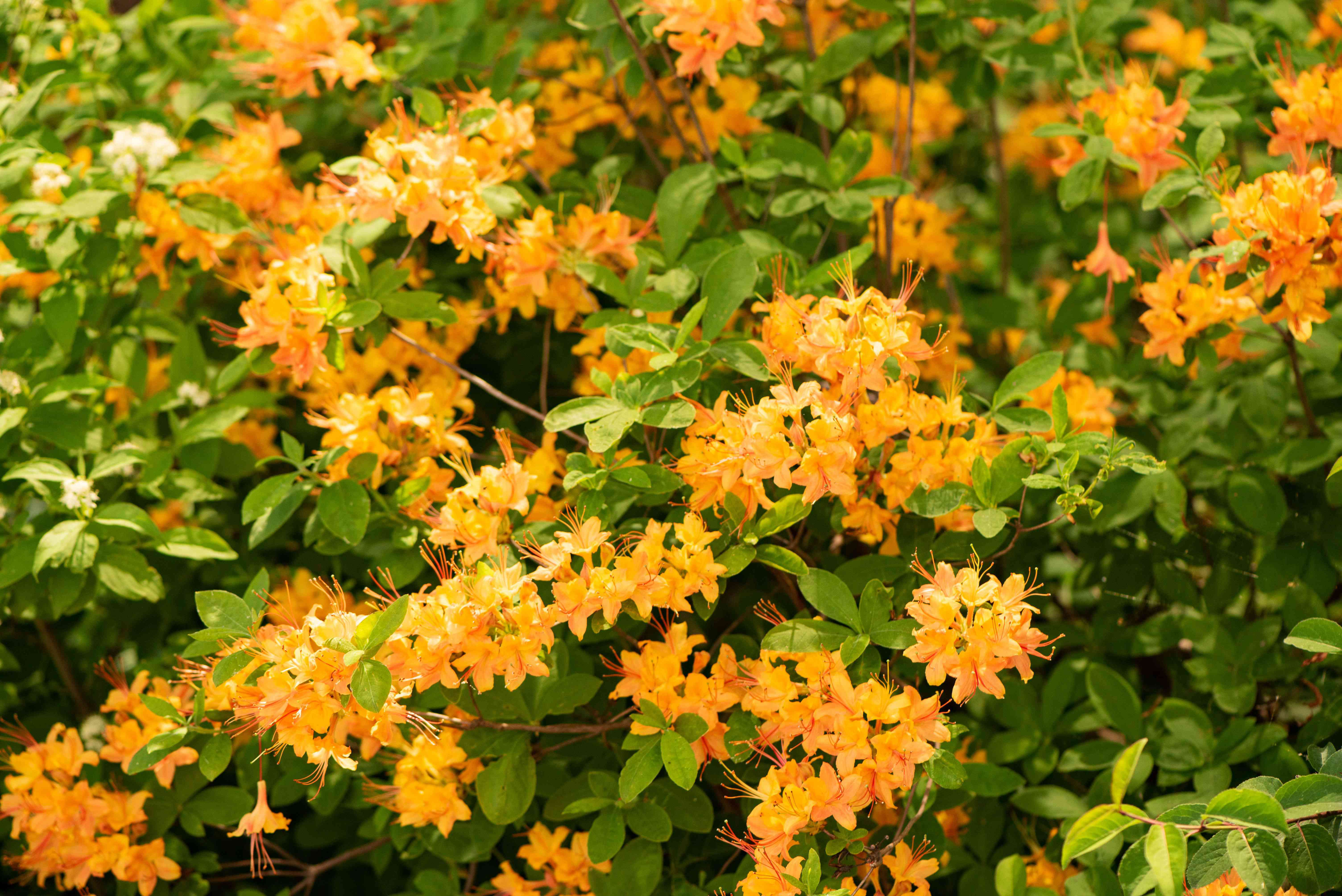 Golden oriole azalea bush with small orange flowers clustered on branches with leaves