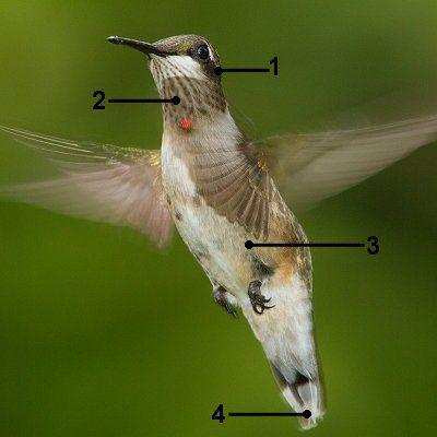 Ruby-Throated Hummingbird - Juvenile Male