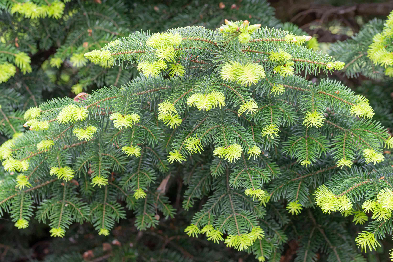 Tender Green Needles From Abies nordmanniana