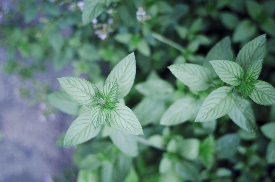 Menta, mentha piperita, en jardín, primer plano