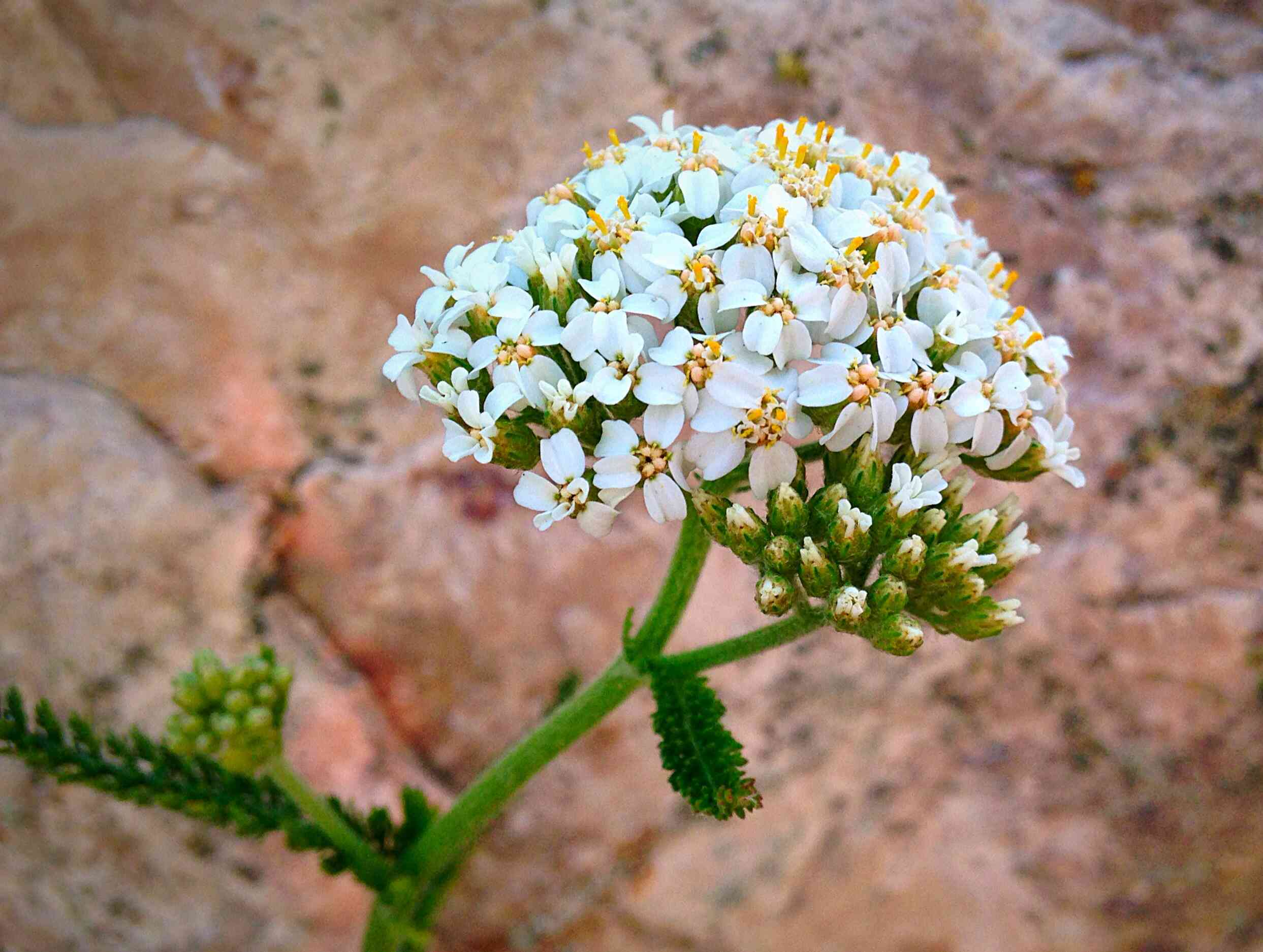 candytuft growing against rocks