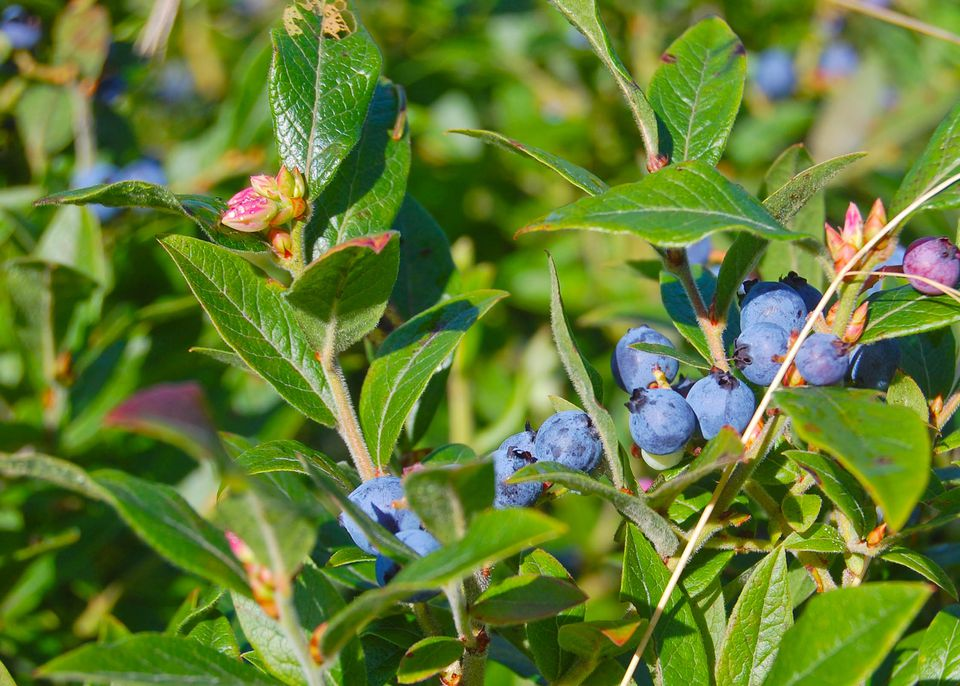 A set of blueberries on the vine