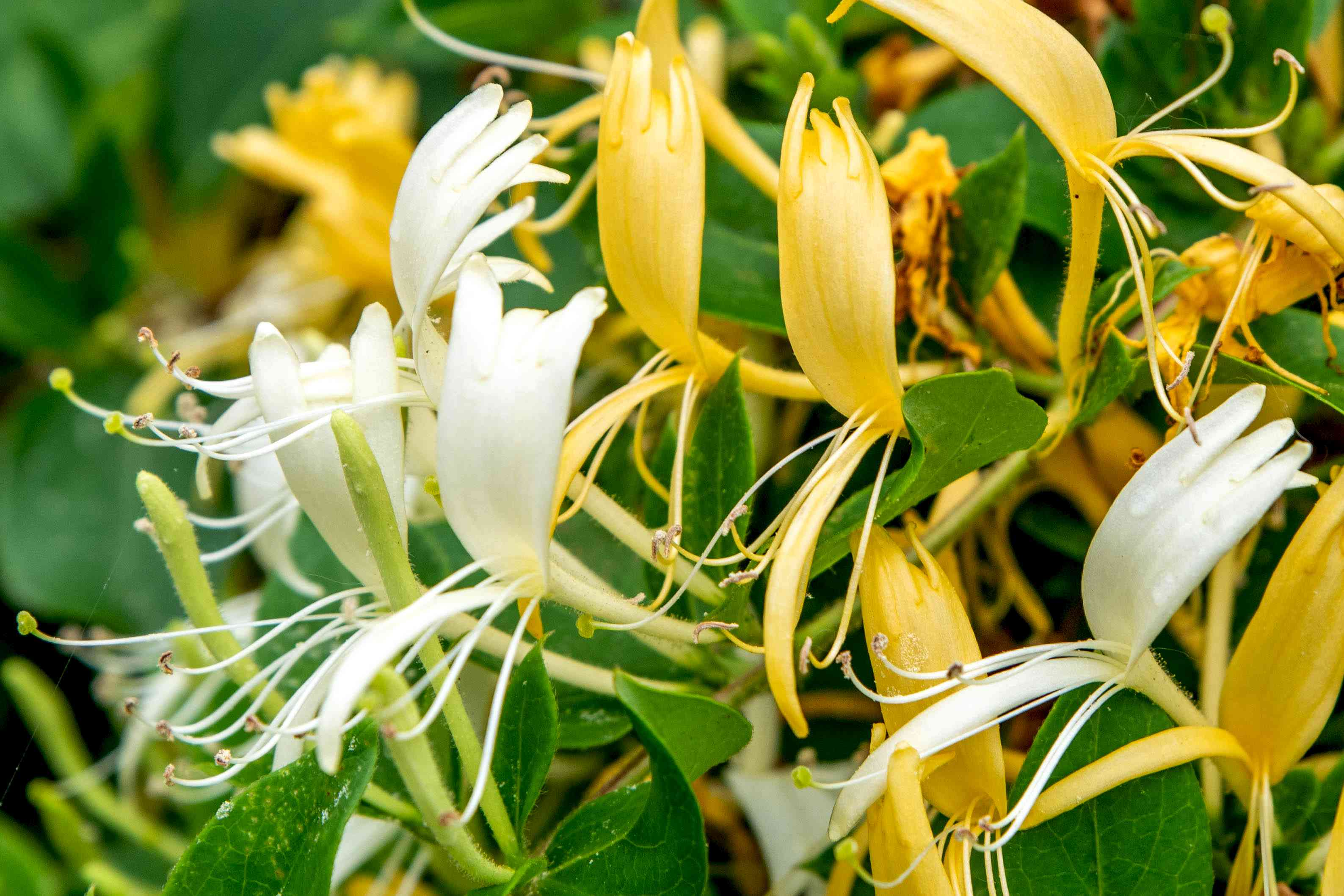 Japanese honeysuckle flowers with white and yellow bi-petals with long thin anthers