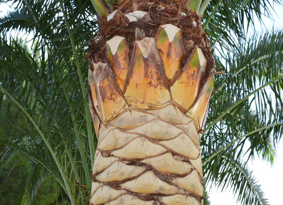 Close up image of a recently pruned palm tree trunk.