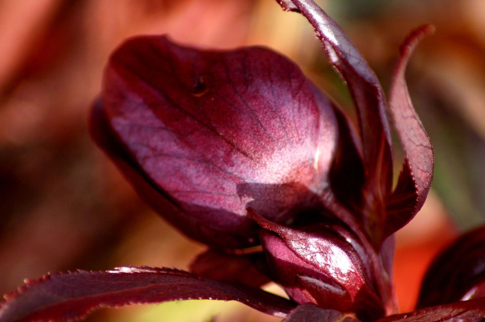 12 great perennials for shade and how to grow them lenten rose image is a shade plant that blooms early its a hellebore mightylinksfo