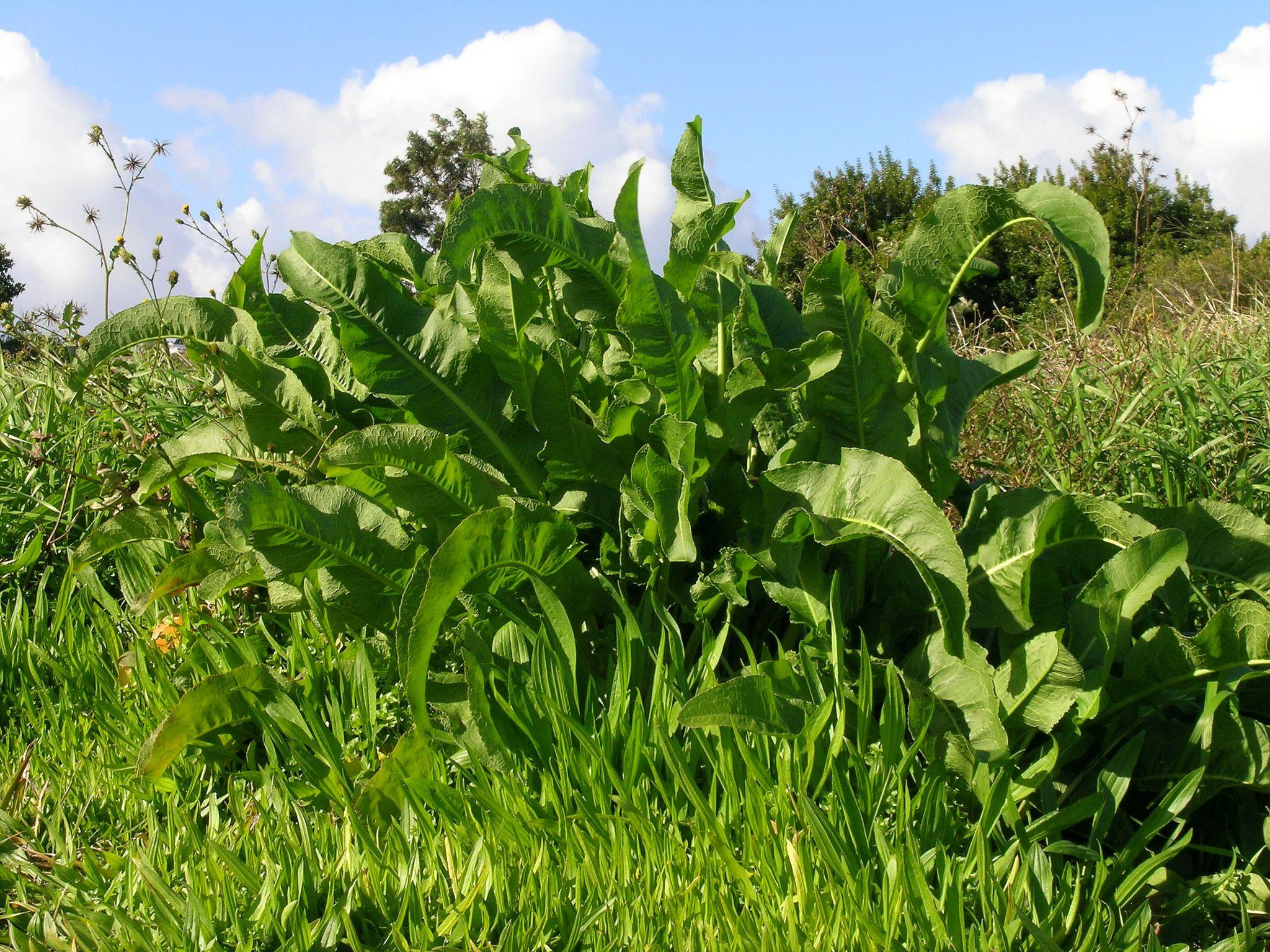 Hojas de plantas de muelle que crecen en el campo