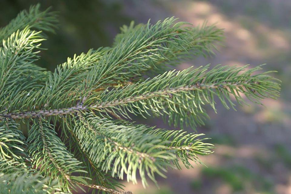 Closeup of Picea glauca 'Densata' branch and needles.