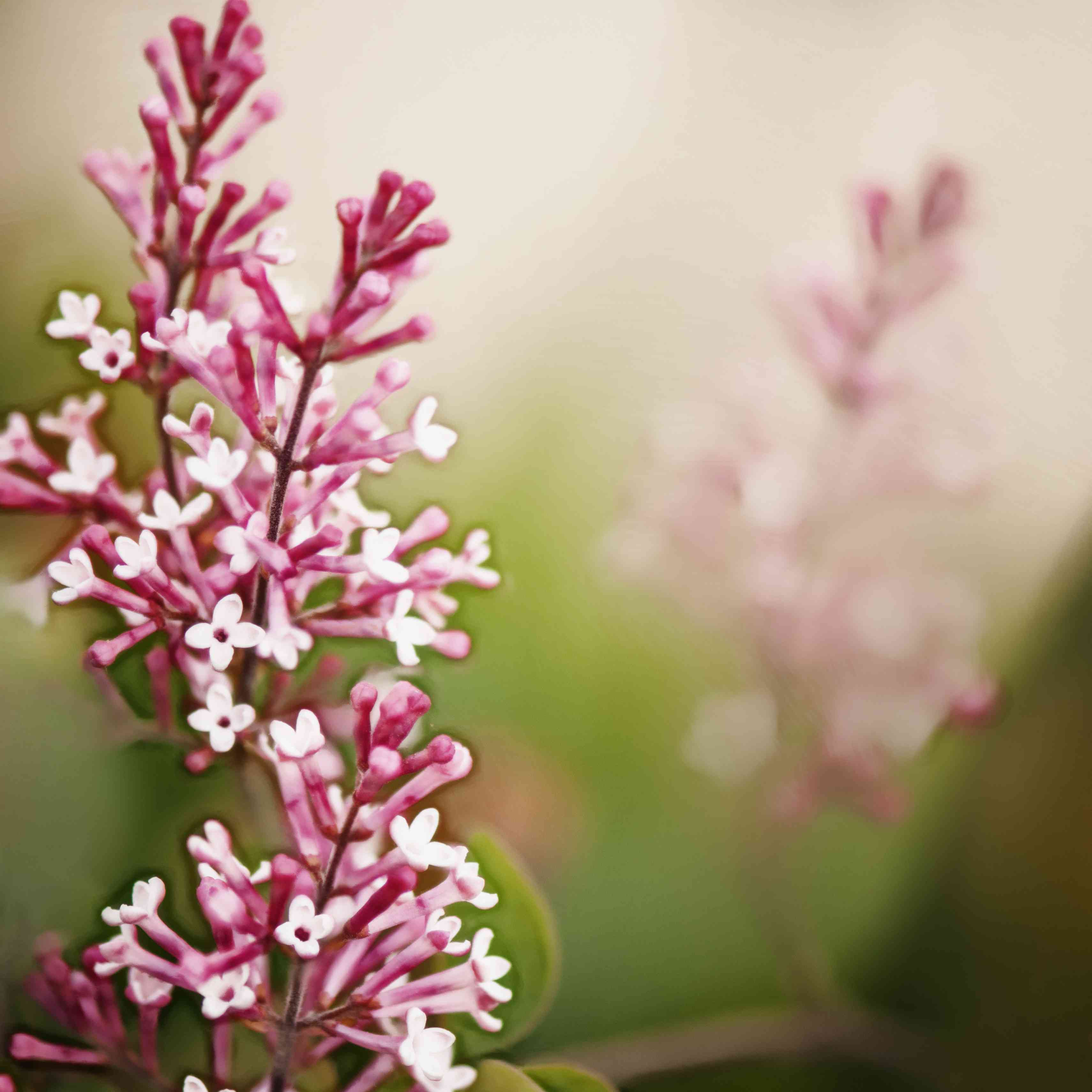 The Bailbelle lilac with pink flowers