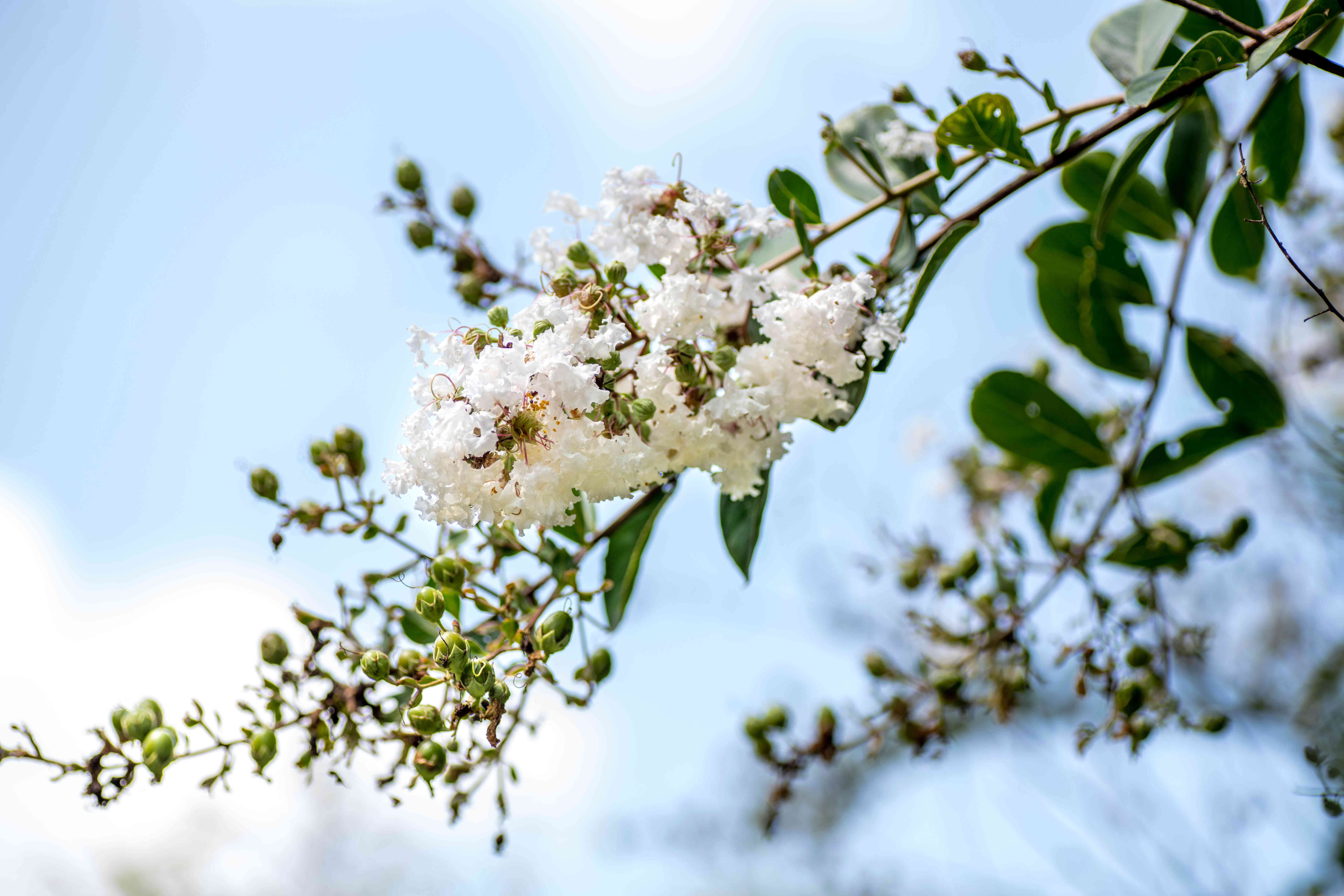 Acoma crape myrtle with white blossoms and buds on end of tree branch