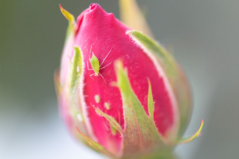 Aphid and larvae on a rosebud