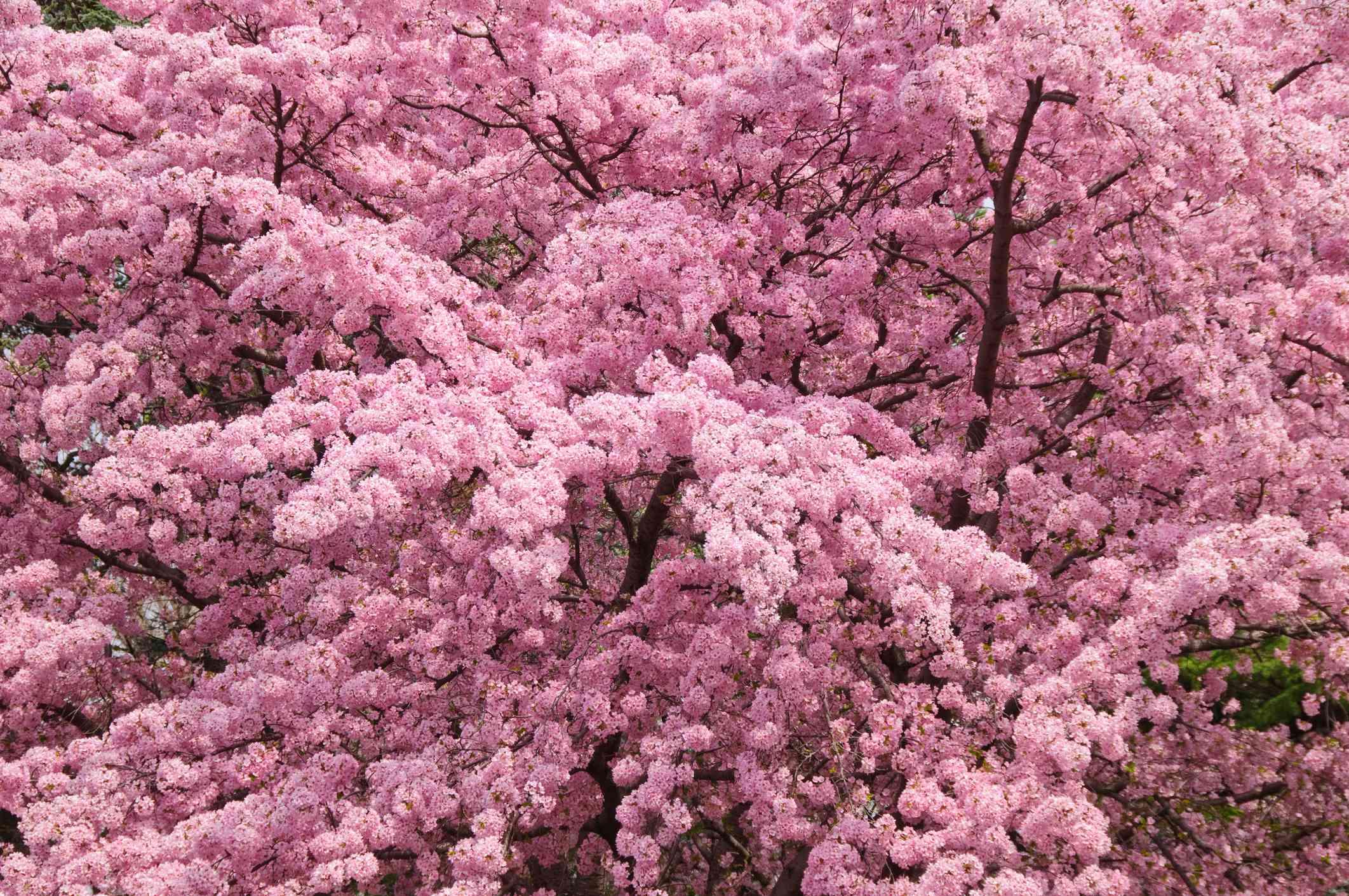 Japanese Cherry tree in full bloom