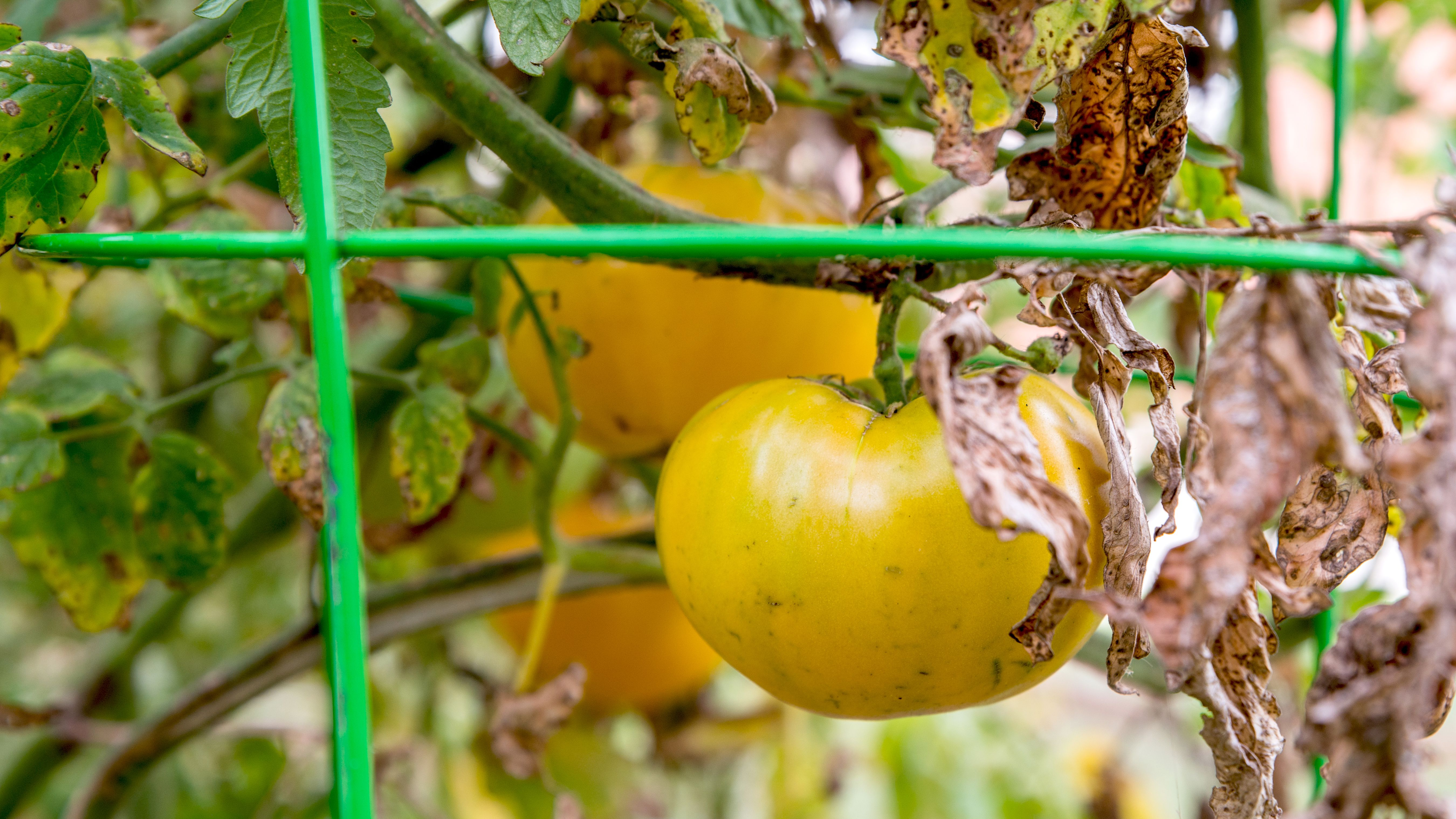 Early Blight On Tomato Plants