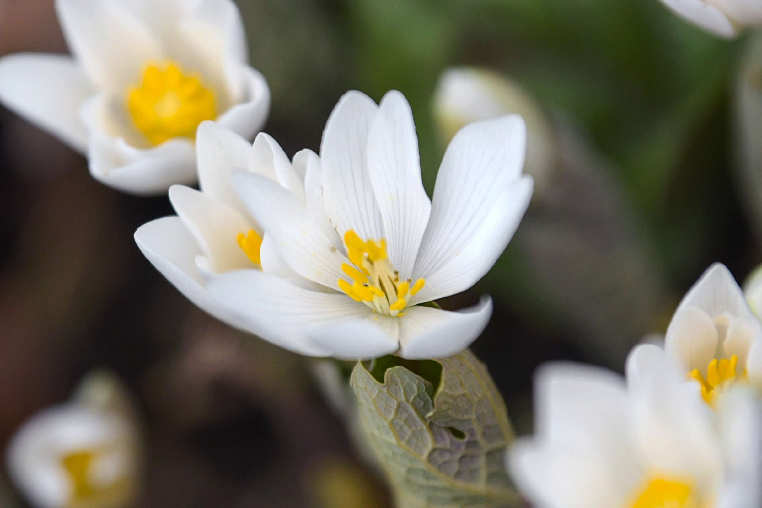 Bloodroot flowers with small white petals and yellow stamen closeup